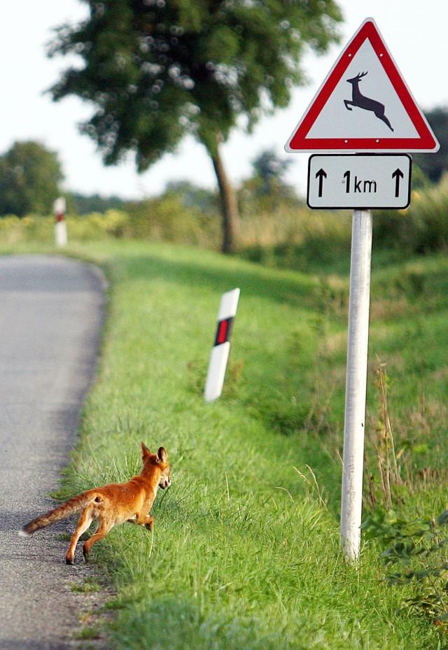 Celldömölk, 2011. augusztus 14. Egy vörös róka (Vulpes vulpes) fut át a Vas megyei Celldömölk és Jánosháza közötti úton. A nyár vége felé és õsszel nagyobb a vadak mozgása, így az autósoknak jobban kell figyelni. MTI Fotó: Varga György